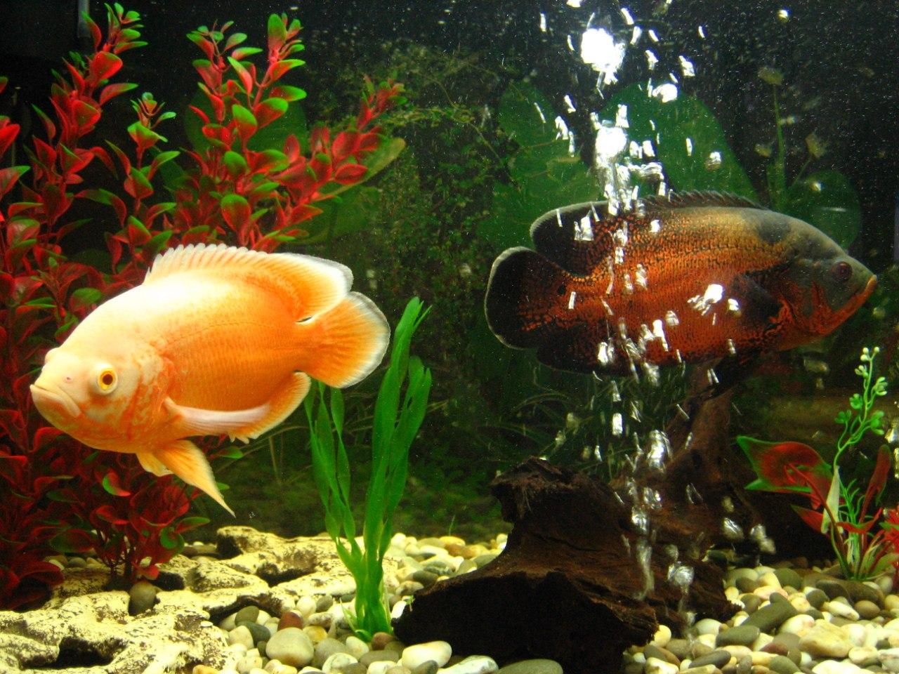 Хищные рыбки для аквариума фото